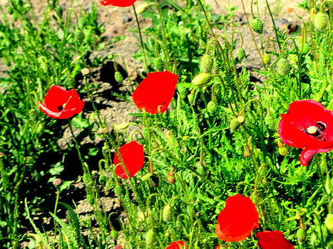 Red Hot Poppies by Amy Bradley