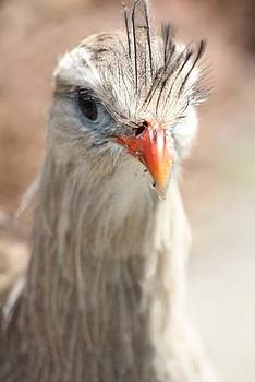 Red-legged Seriema by Bridget Finn