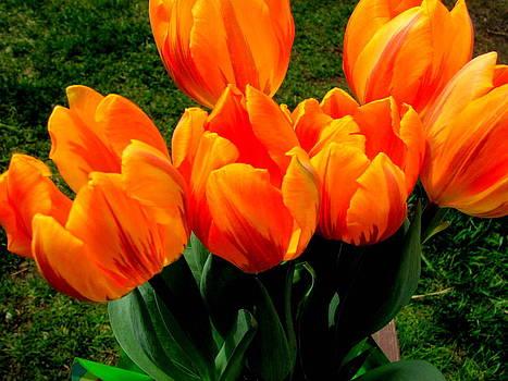 Red Orange Tulips by Amy Bradley