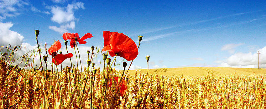 Red Poppies in Golden Wheat Field by Catherine MacBride