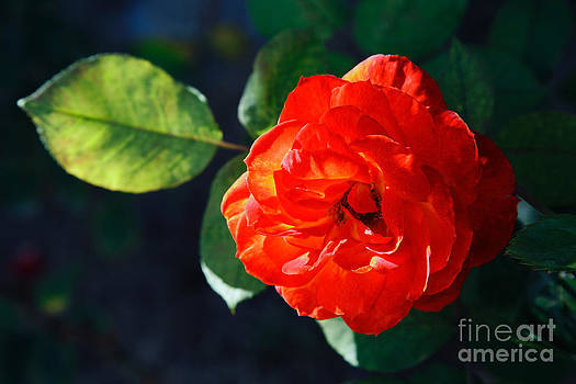 Gaspar Avila - Red rose