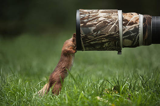 Red Squirrel inspecting a camera lens. by Andy Astbury