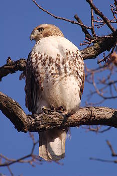 Red tailed hawk by Dick Todd