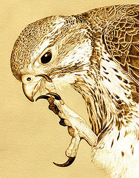 Red Tailed Hawk Portrait by Cate McCauley