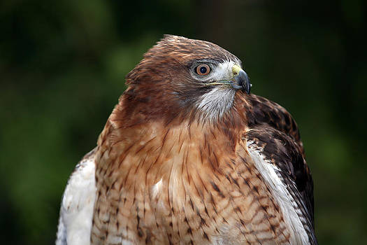 Red-Tailed Hawk by Wildcat Photography