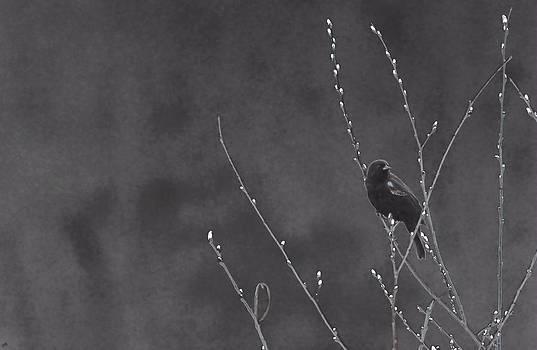 Karol  Livote - Red Winged Black Bird