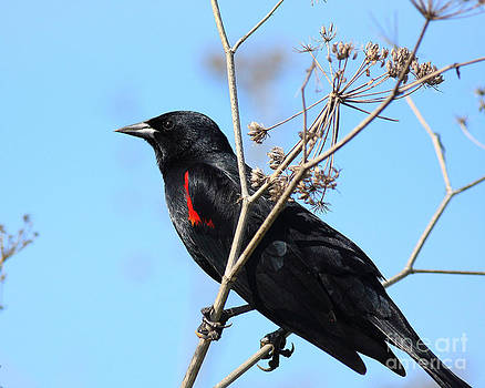 Wingsdomain Art and Photography - Red-Winged Blackbird . 40D5718