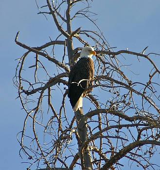 Regal eagle by Bob Berwyn