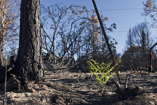 Renewal Santa Cruz Mountains Wildfire Larry Darnell by Larry Darnell