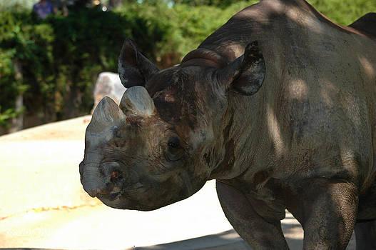 Rhino by Rachele Morlan
