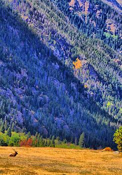 Emily Stauring - Rocky Mountain Elk