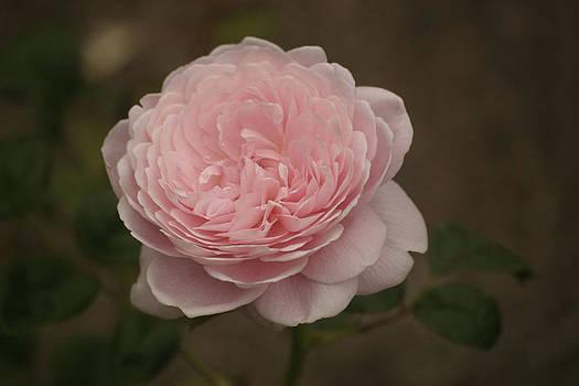 Rose by Art King