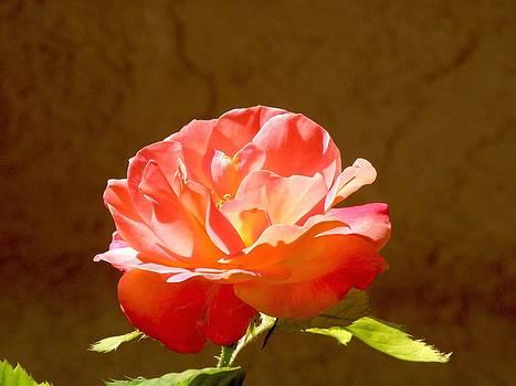 Rose by FeVa  Fotos