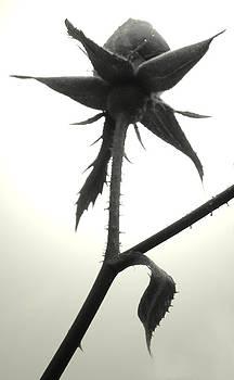 Rose Silhouette BW by Kira Varszegi