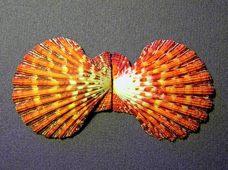 Frank Wilson - Royal Cloak Scallop Seashell