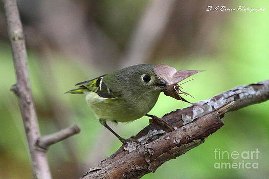 Barbara Bowen - Ruby-Crowned Kinglet nabs a moth