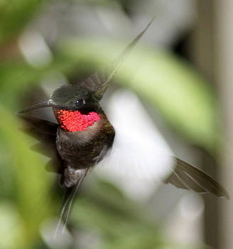 Diane Merkle - Ruby Throated Hummingbird