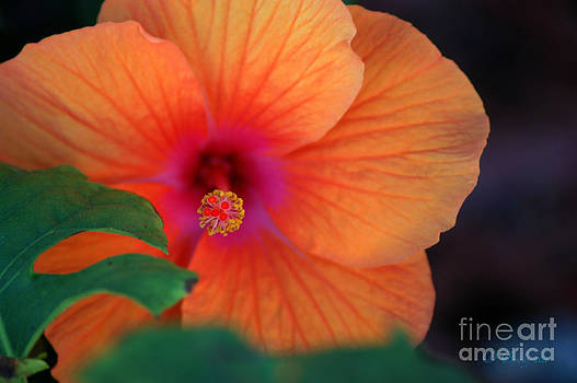 Salmon Hibiscus by Donna Bentley