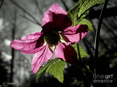 Salmonberry Blossom by Shana Blake