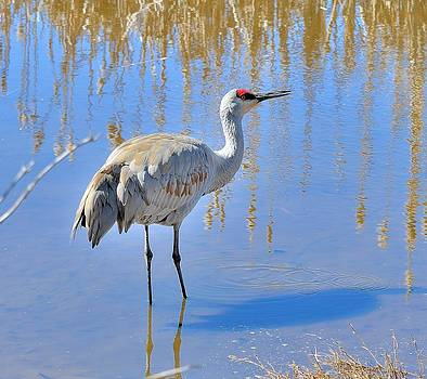 Sandhill Crane by Kathy King