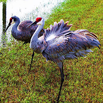 Sandhill Cranes-Plumes in Bloom by Joy Braverman