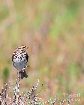 Wingsdomain Art and Photography - Savannah Sparrow . 40D5883