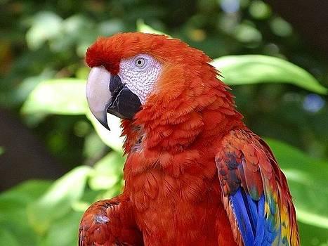 Scarlet Macaw by Ademola kareem oshodi
