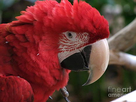 Mary Deal - Scarlet Macaw No 1