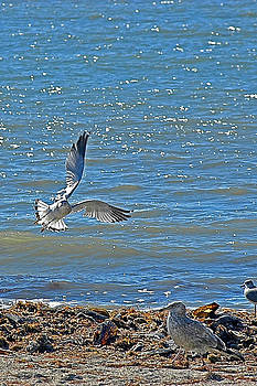 Sea Gull Landing Strip by Michael Austin