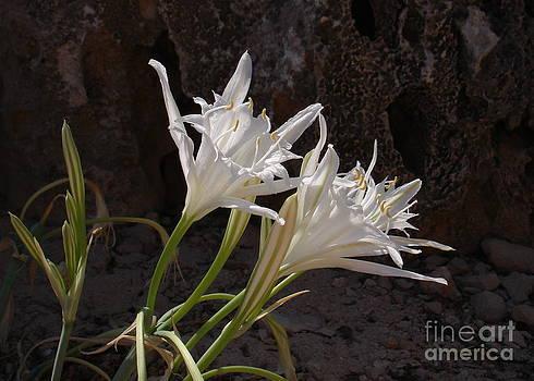 John Chatterley - Sea Lilies