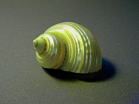 Frank Wilson - Sea Shell Turbo marmoratus