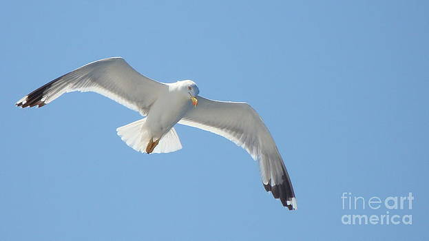 Seagull on the sky by Olga R