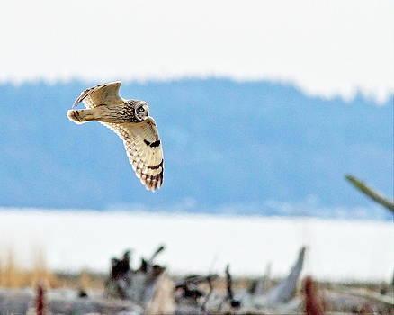 Short Eared Owl Hunting by Daryl Hanauer