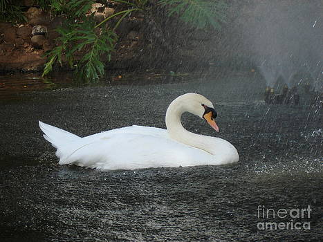 John Chatterley - Shower for a Swan