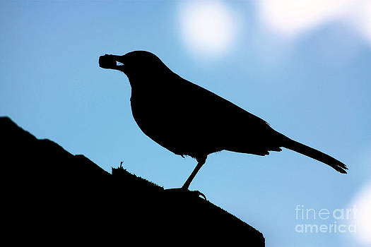 Simon Bratt Photography LRPS - Silhouette of blackbird