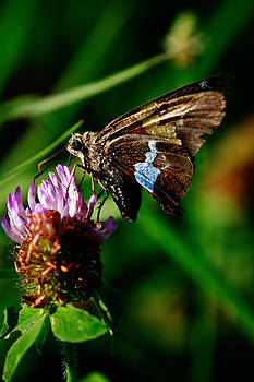 Silver Spotted Skipper Butterfly by Kris Napier