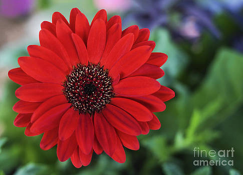Simply Red by Jane Brack