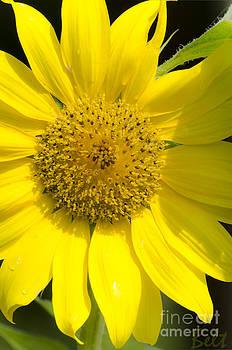 Christine Belt - Simply Sunflower