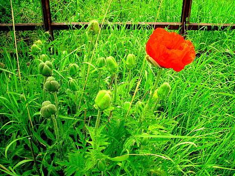 Single Red Poppy by Amy Bradley