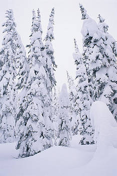 Snow-covered Lodge Pole Pines by Comstock