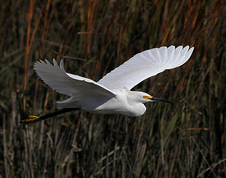 Snowy Egret Flight by Phil Lanoue