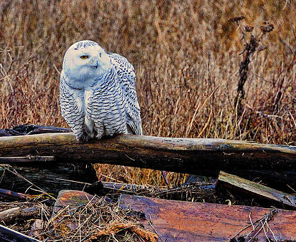 LAWRENCE CHRISTOPHER - Snowy Owl One
