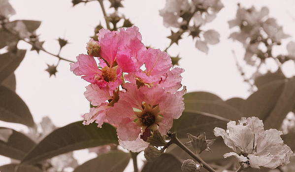 Soft Pink by Manaswinee Mohanty