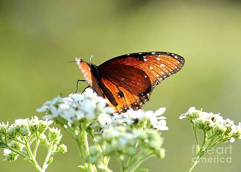 Soldier Butterfly on Elder Flower by Theresa Willingham