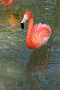Solo Flamingo by Greg Kopriva