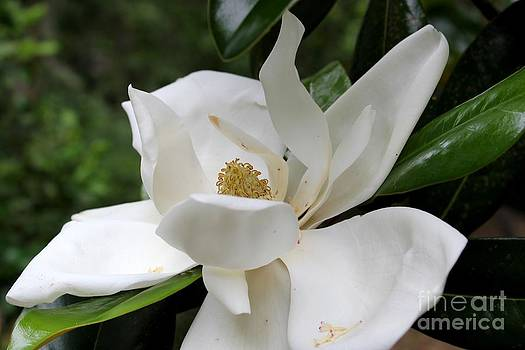 Southern Magnolia by Theresa Willingham