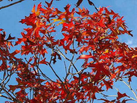 Spanish Oak Tree In Texas by Rebecca Cearley