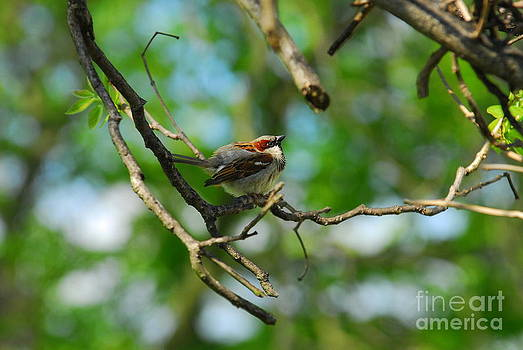 Sparrow in Tree by Curtis Brackett