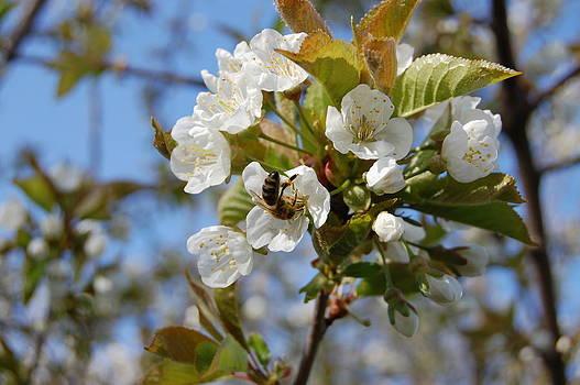 Spring Cherry by Lenka Kendralova