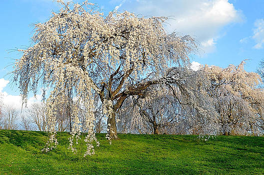 Spring trees in the park by Michael Austin